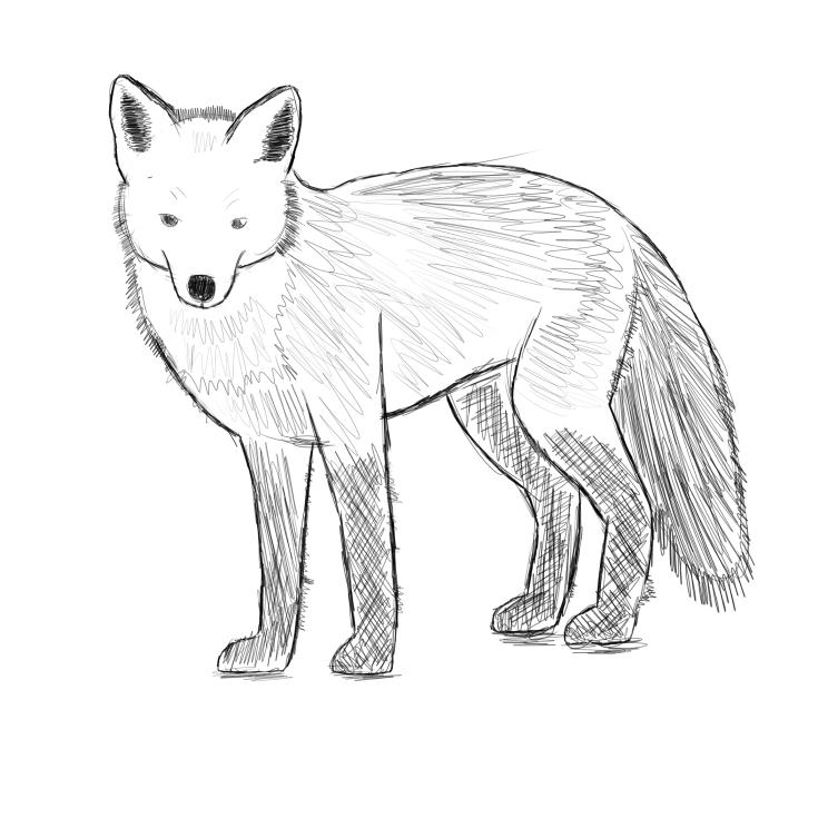 Dessin de renard calqué